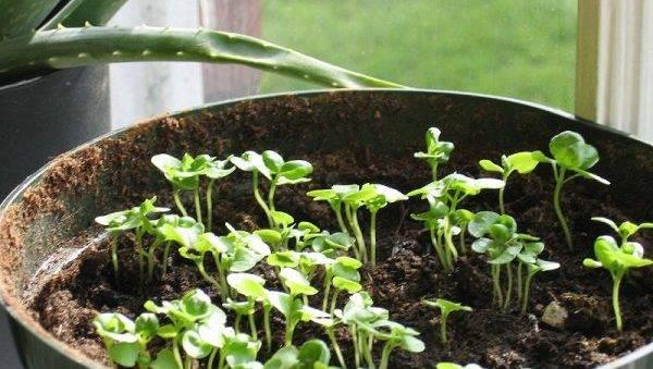 Как и когда сеять базилик в открытый грунт весной