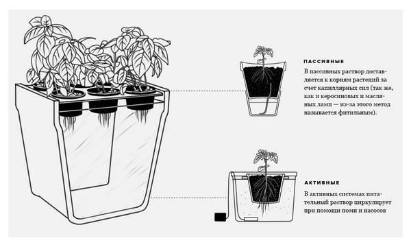 Как вырастить перец чили на своем участке?