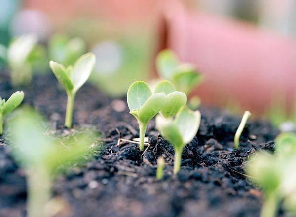 Когда и как правильно посадить арбузы на рассаду