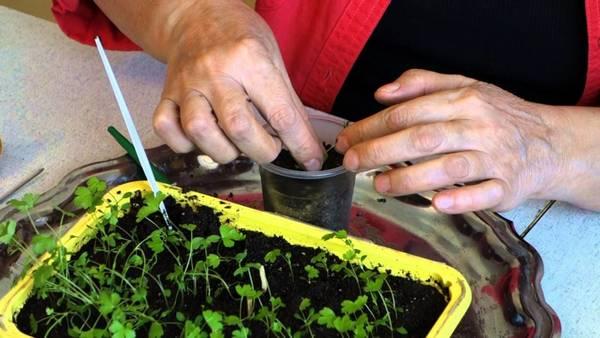 Выращивание сельдерея из семян: подробная инструкция