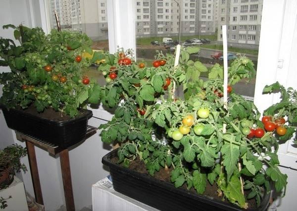 Пошаговая инструкция по выращиванию помидоров на балконе