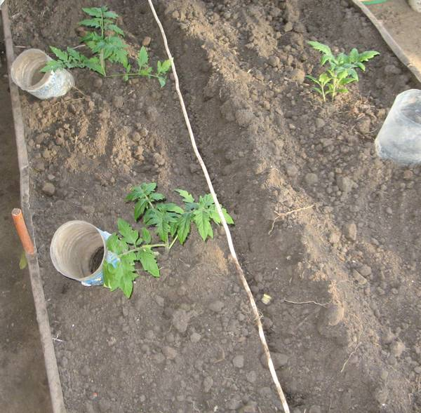 Выращиваем помидоры в теплице