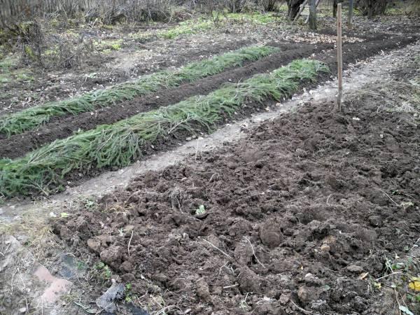 Когда садить зимний чеснок в Сибири: сроки посева