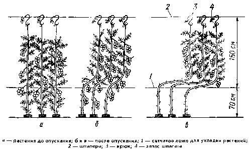 Выращивание высокорослых помидоров черри