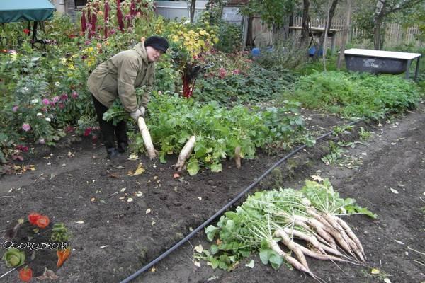 Когда сажать дайкон в открытый грунт семенами  сроки и время, сорта, почему уходит в стрелку
