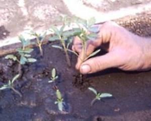 Пикирование рассады овощных культур, способы и преимущества