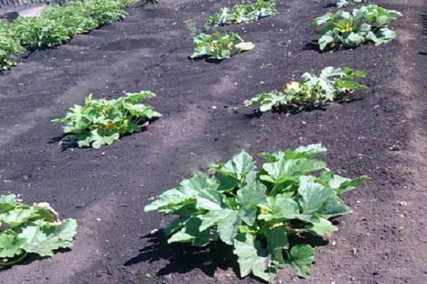 Советы по выращиванию кабачков: от посадки до сбора урожая