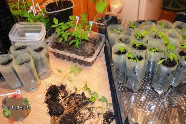 Как пикировать помидоры  пошаговая инструкция, технология, сроки, схема :фото