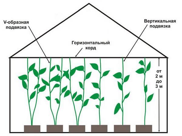 Выращивание перца из семян