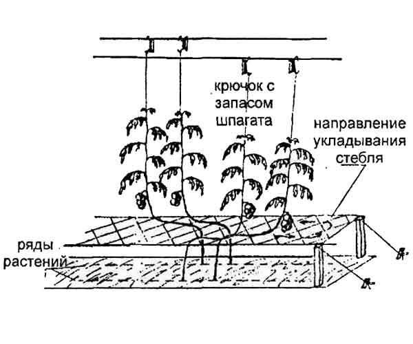 Технология выращивания томатов в теплице