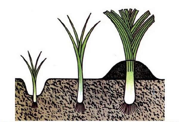 Как выращивать лук и чеснок