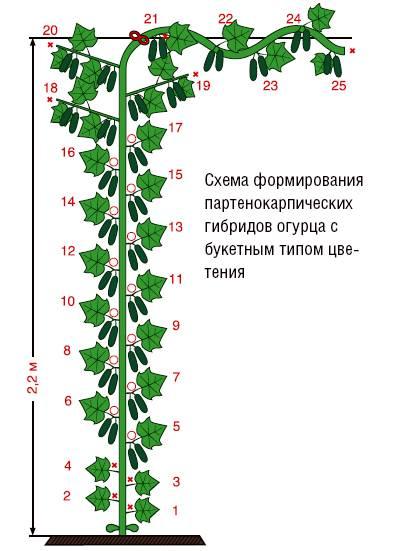 Какие особенности имеются при выращивании огурцов в теплице?