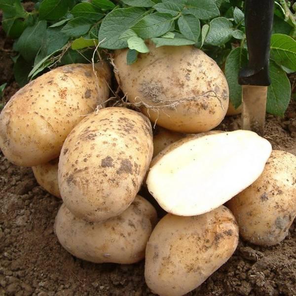 Картошка, выращенная по старой русской традиции,  под соломой или на соломе