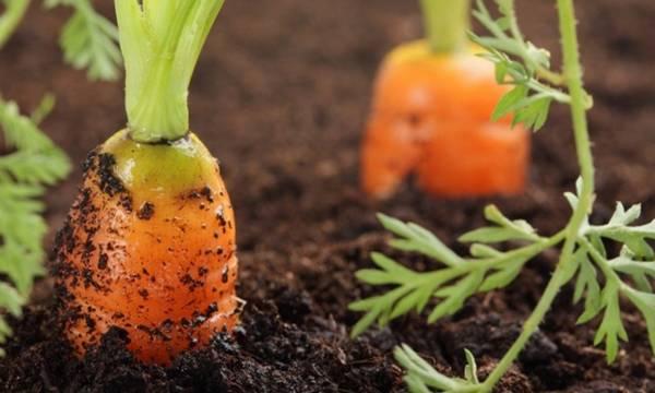 Как вырастить хорошую морковь?