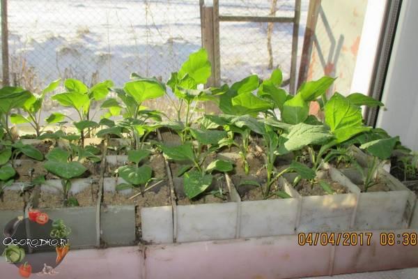 Как вырастить рассаду баклажан в домашних условиях  советы и секреты, проблемы