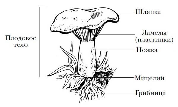 Как правильно и легко выращивать в теплице белые грибы