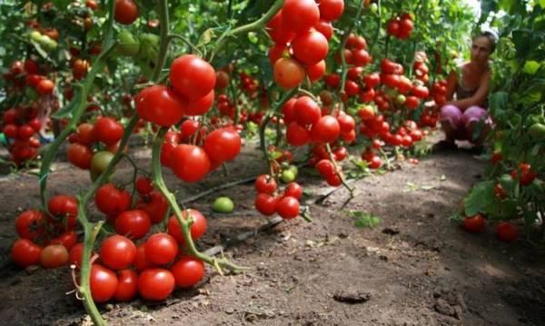 Основные правила формирования томатного куста в теплице