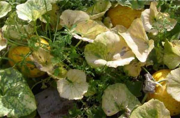 Дыня Колхозница: выращивание в открытом грунте