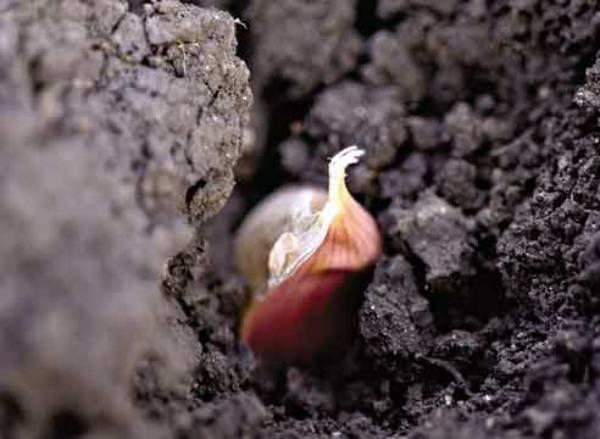Особенности выращивания чеснока из бульбочек