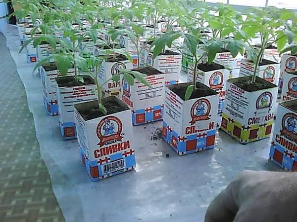 Выращиваем помидоры по методу Октябрины Ганичкиной