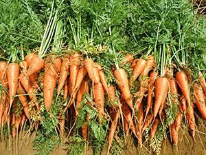 Что посадить рядом с морковью?