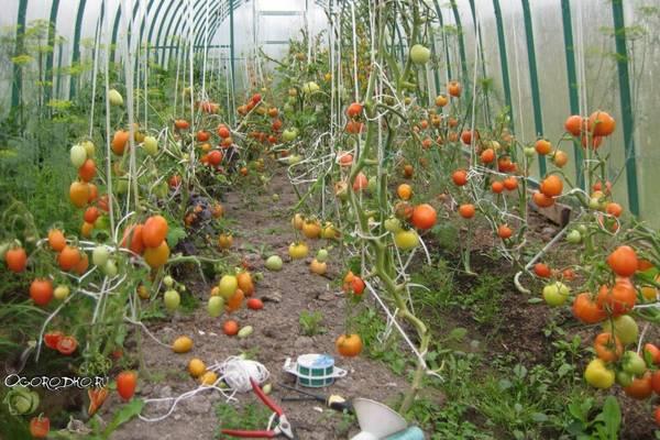 Как подвязывать помидоры в теплице  технология, способы, приспособления