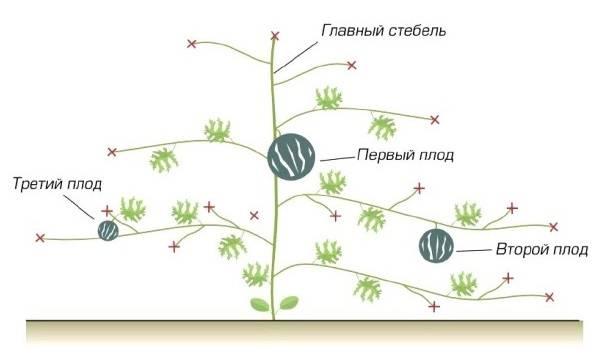 Как выращивать в теплице арбузы и дыни
