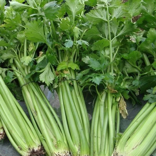Сельдерей стеблевой и листовой  лучшие сорта для выращивания