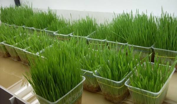 Технология выращивания зелёного лука зимой на подоконнике и в теплице