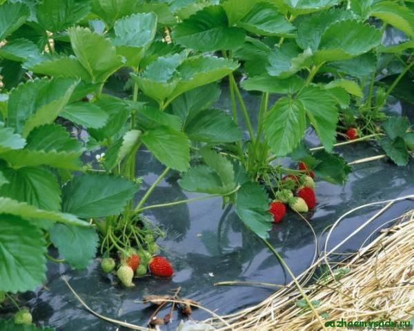 Агроволокно для клубники или как упростить выращивание ягод