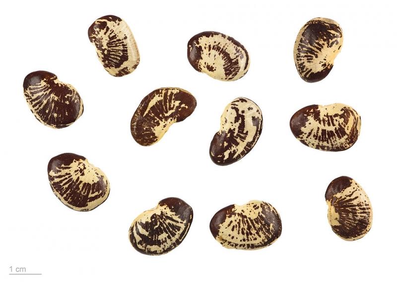 Фасоль лима — выращивание, посадка, размножение и уход