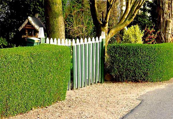 Как сделать живую изгородь на участке?