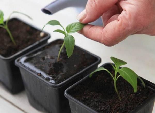 Посев баклажан на рассаду: обработка семян и уход за рассадой