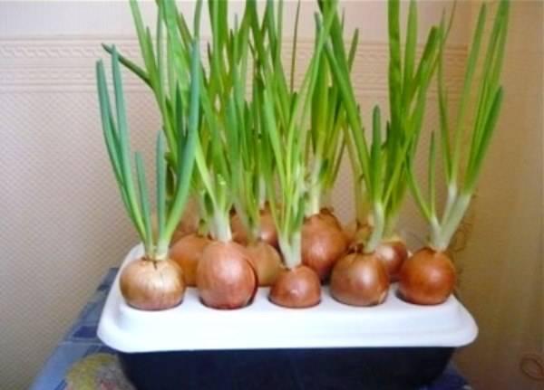 Как получить урожай зеленого лука в домашних условиях