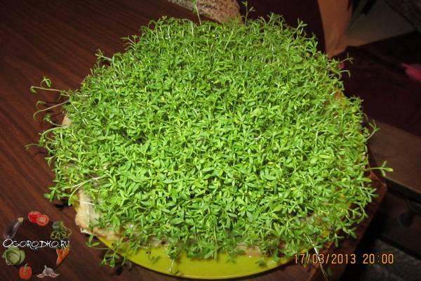 Кресс-салат, выращивание на подоконнике  пошаговая инструкция, без земли, в грунте, воде, вате