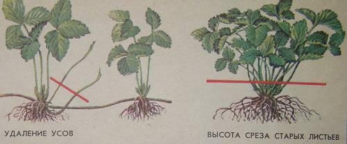 Выращивание клубники вертикальным способом